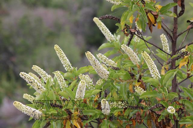 Escalloniaceae