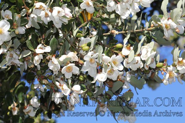 Eucryphiaceae