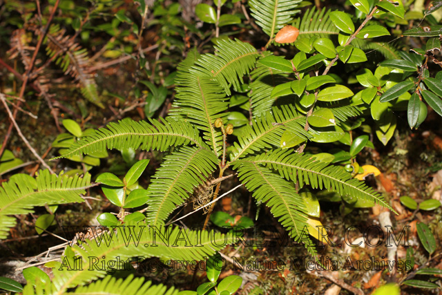 Gleicheniaceae