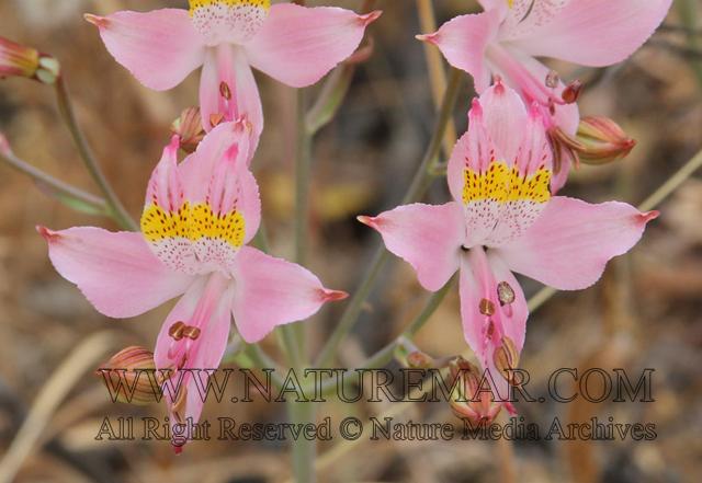 Alstroemeriaceae